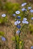 Vlas (Linum-lewisii) Stock Foto