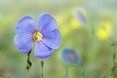Vlasbloemen Royalty-vrije Stock Afbeeldingen