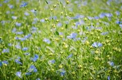 Vlasbloemen Stock Foto's