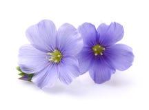 Vlasbloemen in close-up royalty-vrije stock afbeeldingen