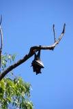 Vleerhond Stock Fotografie