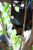 Vleerhond Stock Foto's