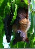 Vleerhond Royalty-vrije Stock Afbeeldingen