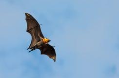 Vleerhond, reusachtige knuppel, tegen blauwe hemel Royalty-vrije Stock Fotografie
