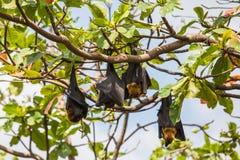 Vleerhonden die op een boom hangen Royalty-vrije Stock Afbeelding