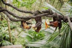 Vleerhonden, vleerhond, Pteropus Stock Foto's