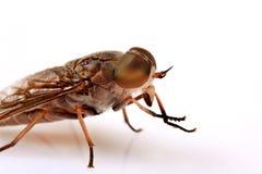 Vleesvlieg Stock Afbeeldingen