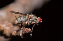 Vleesvlieg het roosting op een boomtak Stock Foto