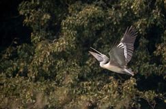 Vlek-gefactureerde Grey Pelican Pelecanus-philippensis stock foto