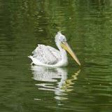 Vlek-gefactureerde of grijze pelikaan, Pelecanus-philippensis, die in de vijver met gegolfte bezinning, close-upportret zwemmen stock afbeelding