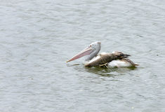 Vlek-gefactureerde Pelikaan bij Vogelreservaat Uppalapadu stock fotografie