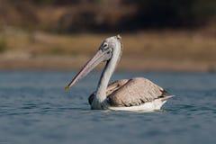 Vlek-gefactureerde Pelikaan of grijze pelikaan stock fotografie