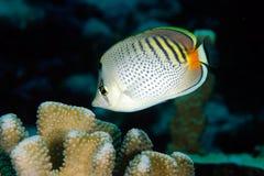 Vlek-gestreept butterflyfish Royalty-vrije Stock Afbeeldingen