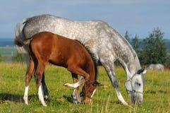 Vlek-grijs merrie en baaiveulen Stock Foto's