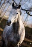 Vlek-grijs paard Stock Fotografie