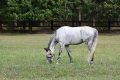Vlek-grijs Paard met In de schaduw gestelde Ogen op een Weide, Tsjechische Republiek, Europa Royalty-vrije Stock Afbeeldingen