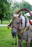 Vlek-grijs paard in uitrusting met paardkraag en kenwijsje-klokken Stock Afbeeldingen