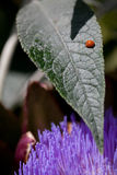 Vlekkeloos Lieveheersbeestje op een blad Stock Afbeeldingen