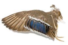 Vleugel van een wilde eendeend als luchtventilator op Indisch of Esoterisch gebied royalty-vrije stock foto's