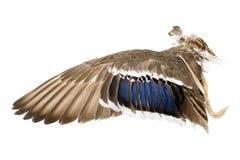 Vleugel van een wilde eendeend als luchtventilator op Indisch of Esoterisch gebied stock afbeelding