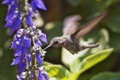 Vleugels van Kwik Stock Fotografie
