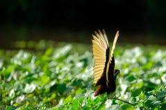 Vleugels van noordelijke jacana royalty-vrije stock afbeelding