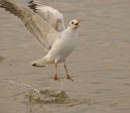 Vleugels van zeemeeuw Royalty-vrije Stock Foto's
