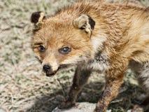 Välfylld räv - uppstoppning Royaltyfri Fotografi