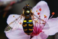 Vlieg die als een wesp klaar kijkt te vliegen royalty-vrije stock foto's