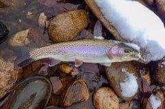 Vlieg die voor forel in de winter vissen stock afbeeldingen