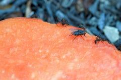 Vlieg en sommige mieren die op een stuk van papaja voeden stock afbeelding