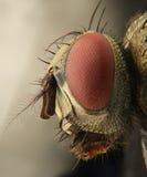 Vlieg extreme close-up van hoofd van vooraanzicht Royalty-vrije Stock Afbeelding