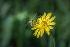 Vlieg het voeden op een Paardebloem flower& x27; s stuifmeel royalty-vrije stock foto