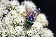 Vlieg met groene ogen royalty-vrije stock afbeeldingen