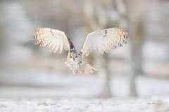 Vlieg Oostelijk Siberisch Eagle Owl die, Bubo-bubosibiricus, op heuveltje met sneeuw in de bosberkboom zitten met mooi dier stock afbeeldingen