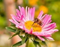 Vlieg op bloem Stock Afbeelding