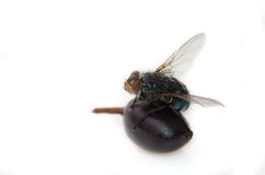 Vlieg op een bes Stock Fotografie