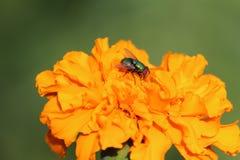 Vlieg op een bloem stock afbeelding