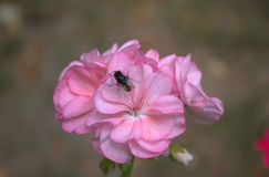 Vlieg op een bloemooievaarsbek Stock Afbeelding