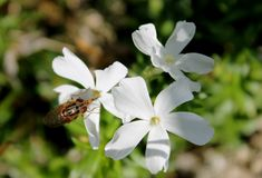 Vlieg op een witte bloem Royalty-vrije Stock Foto's