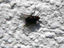 Vlieg op een witte muur stock foto