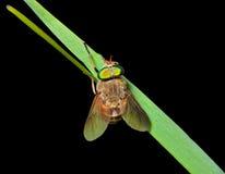 Vlieg op gras-blad 4 Stock Afbeeldingen