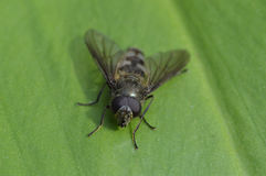 Vlieg op groen blad Royalty-vrije Stock Fotografie