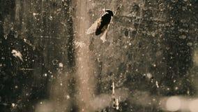 Vlieg op vuil venster, onhygiënische plaats met besmettingen, microben en ziekten stock footage
