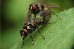 Vlieg, Paar van insect, het kweken Stock Foto