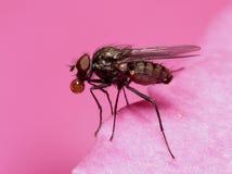 Vlieg in roze Royalty-vrije Stock Afbeeldingen
