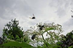 Vliegen aan het vrije lieveheersbeestje stock afbeelding