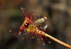 Vliegen door Zonnedauw worden gevangen die stock fotografie