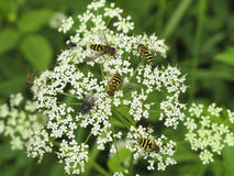 Vliegen op wilde bloem Royalty-vrije Stock Fotografie