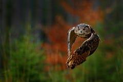 Vliegend Europees-Aziatisch Eagle Owl, Bubo-bubo, met open vleugels in boshabitat, oranje de herfstbomen Het wildscène van aardbo stock foto